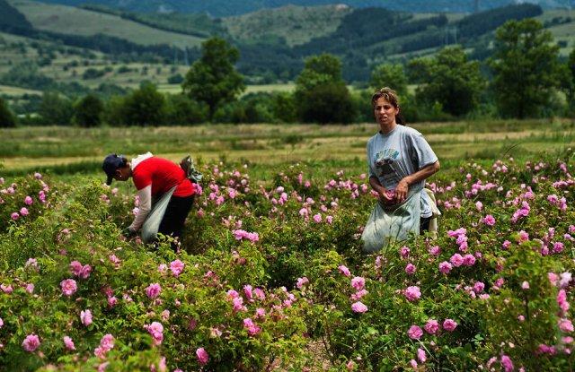 Затягат контрола при изкупуване на розовия цвят