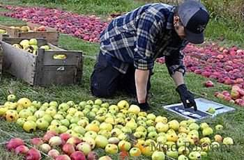 Стотици тонове ябълки гният заради липса на пазар