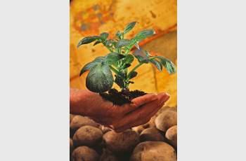Преди 432 г. картофите пристигат от Америка