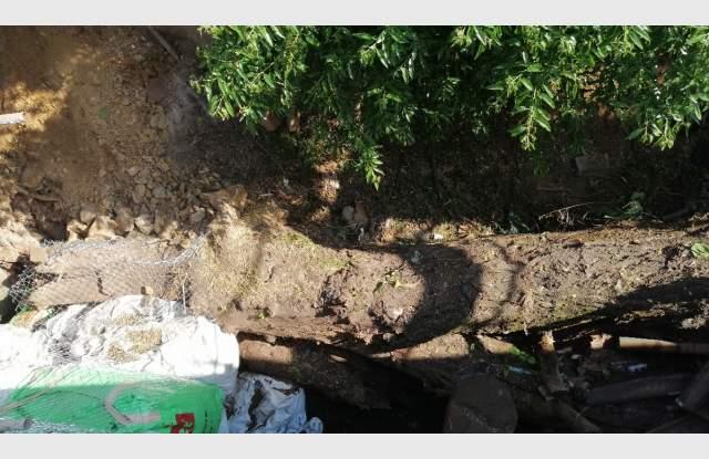 Падналата 60-годишна липа, чиито корени са разбили скалата