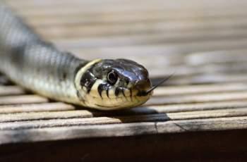 Двуметрова змия подпали бензиностанция