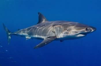 Акула човекоядец отмъкна 7 рибари в морето СНИМКИ/ВИДЕО