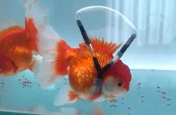 Мъж направи трогателен жест към златната си рибка ВИДЕО