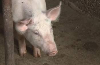 Въпреки чумата, свине се разхождат в Симеоновград