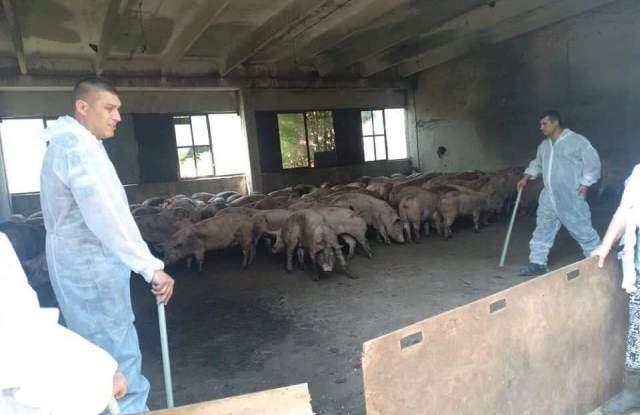 Умъртвяват 1500 прасета около свинекомплексите в Пазарджишко