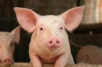 Избиха 80 000 прасета в индустриалните ферми