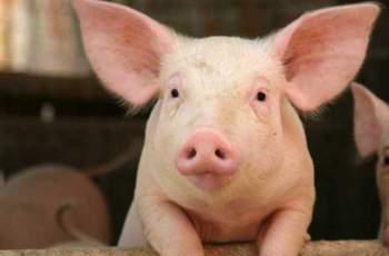 Стана ясно как стопаните на прасета ще получат обезщетения
