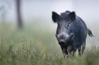 Диво прасе с Африканска чума е открито край Велинград