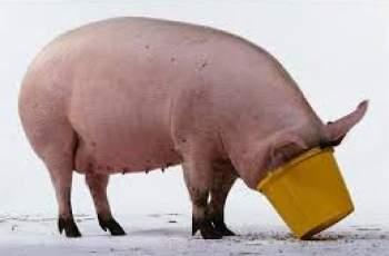 Предлагат 300 лева за заклано прасе и извън санитарната зона