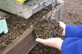 Опасност! Откриха най-страшната болест по пчелите у нас