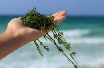 Смъртоносни водорасли, които убиват за секунди, нападнаха плажове