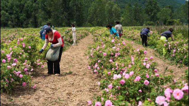 Розопроизводители се събират на важна среща в Карлово