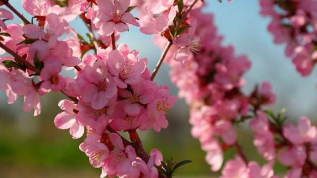 Пролетта е тук, бадеми и праскови с първи плодни пъпки