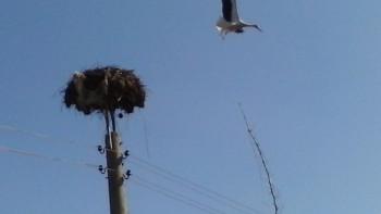 Първата двойка щъркели долетя в Съединение