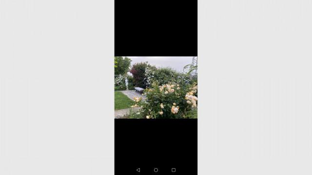 Чудо в Куклен! Рози на два века цъфтят в двора на кметицата - 3