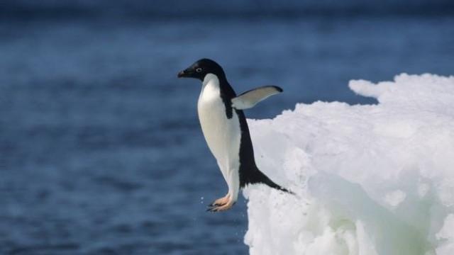 Пингвин на 30 г. получи специални обувки и вече може да плува