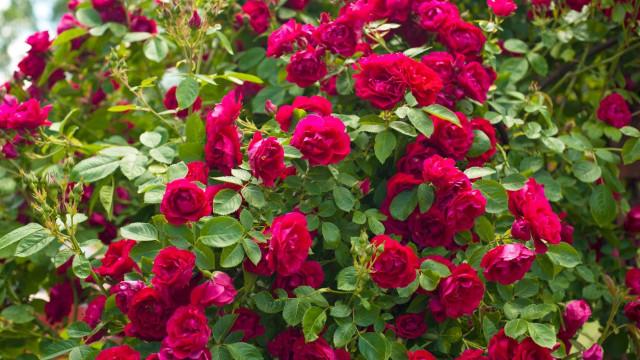 Растителна пепел лекува хлороза по розата